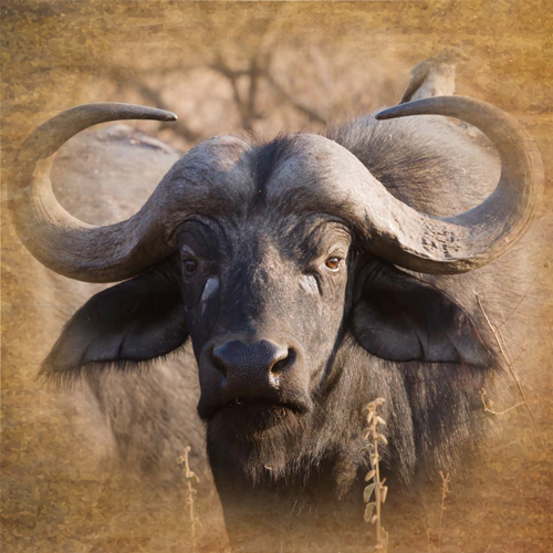 cape buffalo hunting in africa south africa and mozambique prices